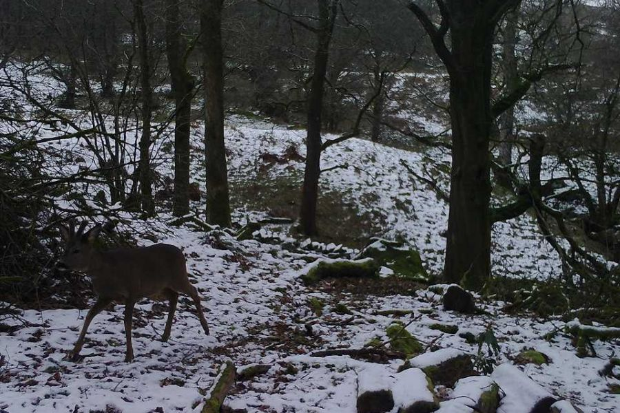 deer-3-w960