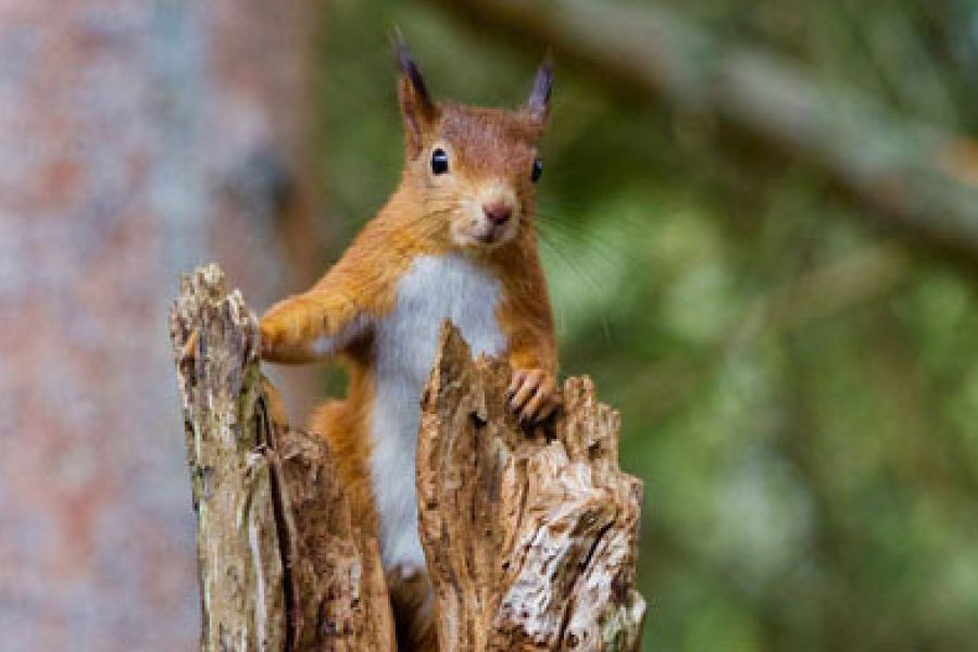 red-squirrel-1-w960