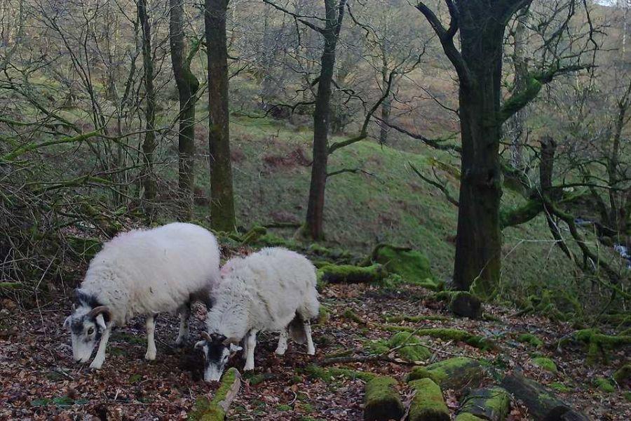 sheep-2-w960