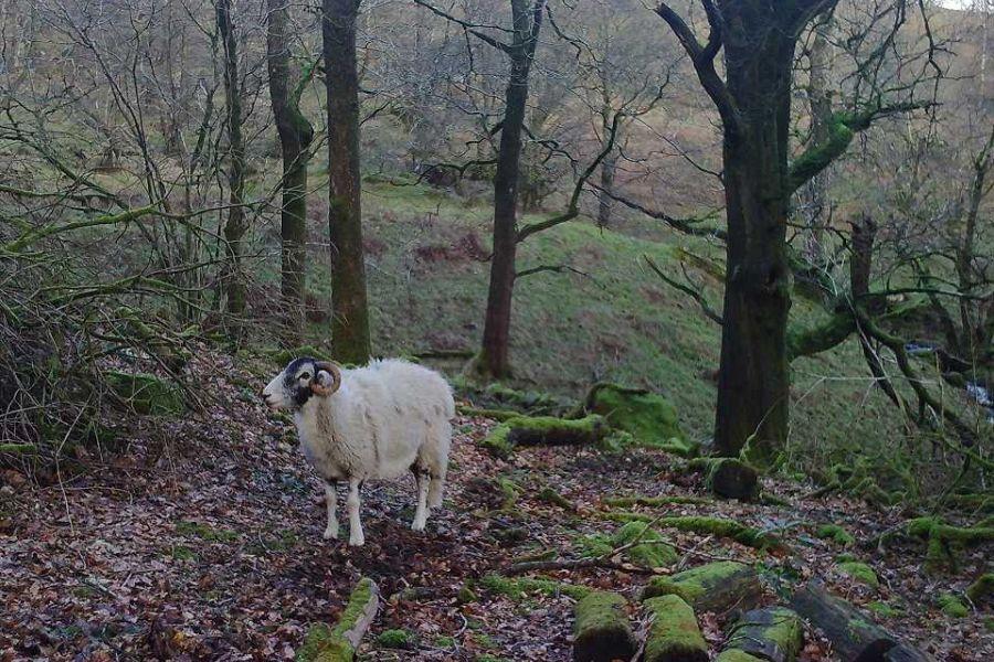 sheep-3-w960